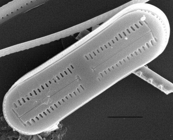 Humidophila contenta SEM1