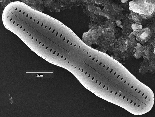 Humidophila undulata SEM1