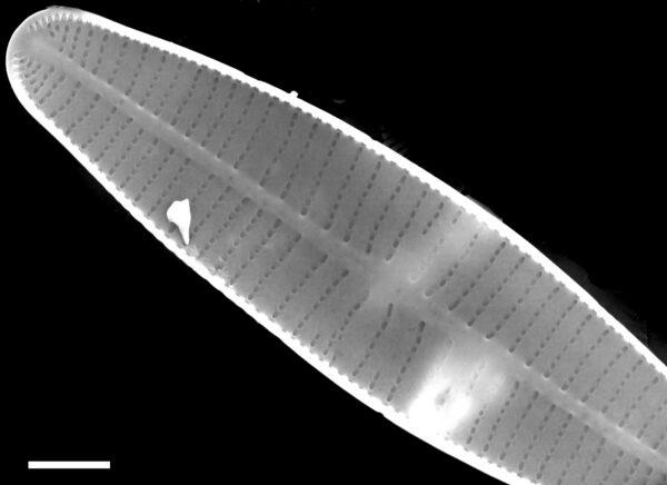 Achnanthidium druartii SEM1