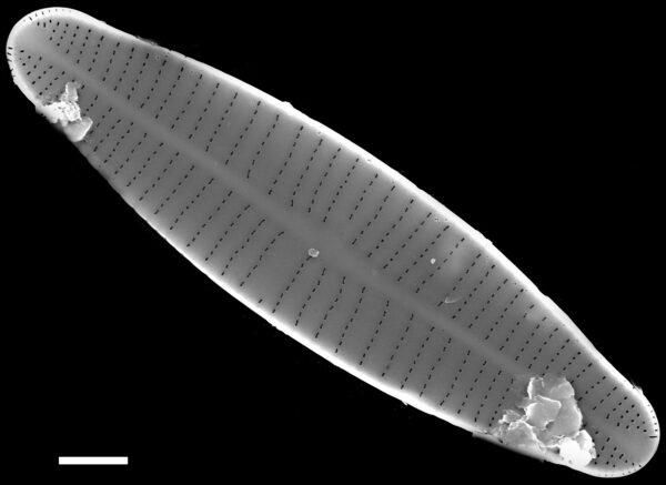 Achnanthidium druartii SEM2