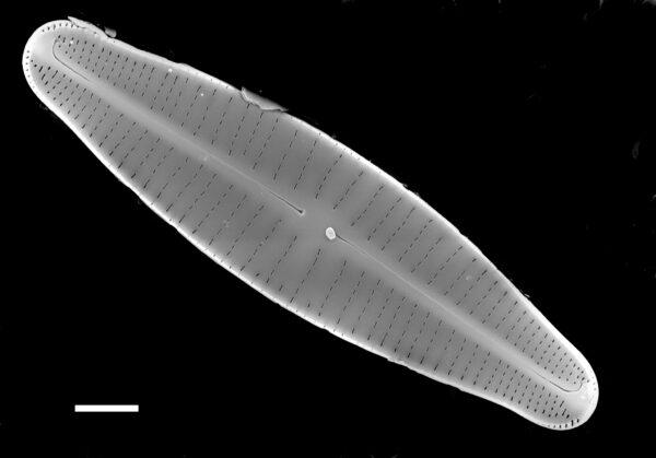 Achnanthidium druartii SEM3