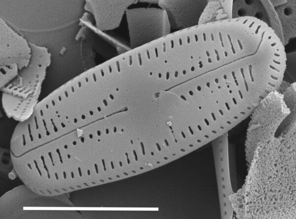 Chamaepinnularia witkowskii SEM3