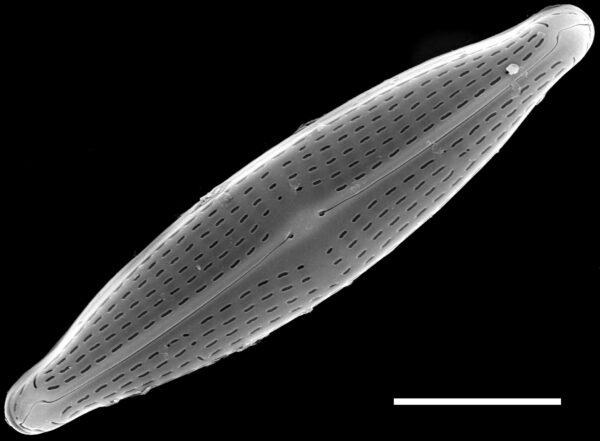 Navicula canalis SEM1