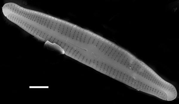 Achnanthidium gracillimum SEM2