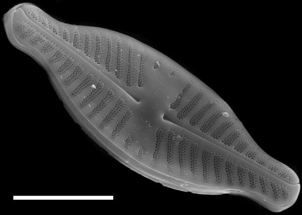 Planothidium dubium SEM1