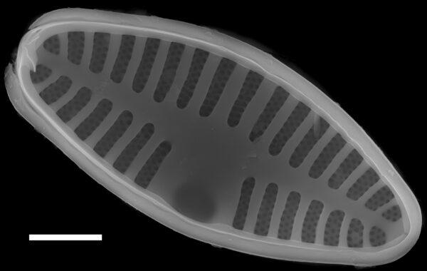 Planothidium lanceolatum SEM2