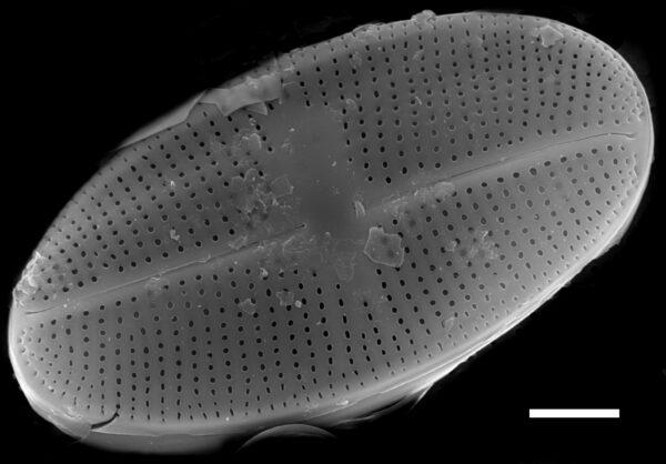 Psammothidium bioretii SEM4