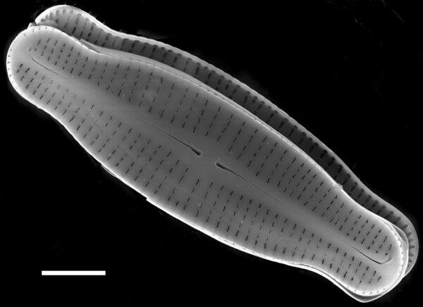 Achnanthidium latecephalum SEM3