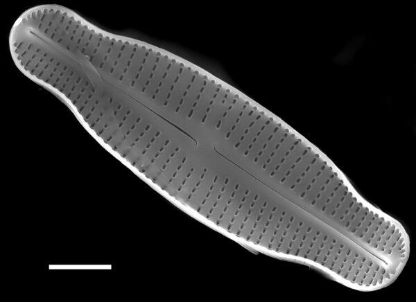 Achnanthidium latecephalum SEM4