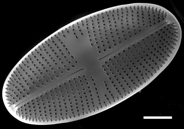 Psammothidium bioretii SEM3
