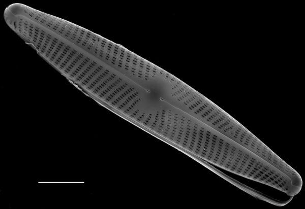 Navicula angusta SEM5