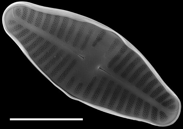 Planothidium lanceolatum SEM3