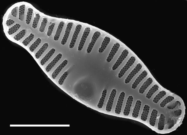 Planothidium haynaldii SEM1