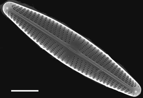 Navicula libonensis SEM1