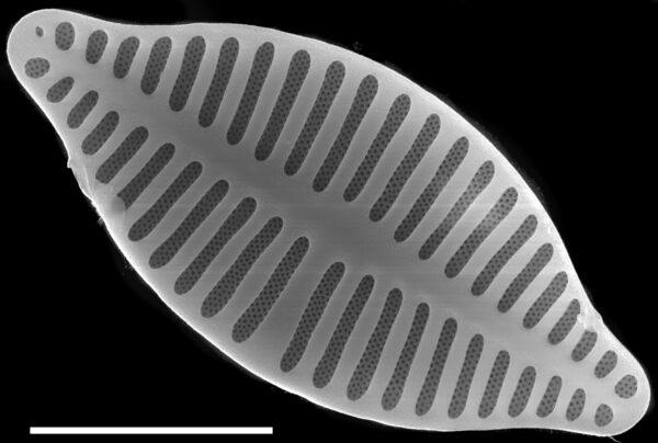 Planothidium delicatulum SEM1