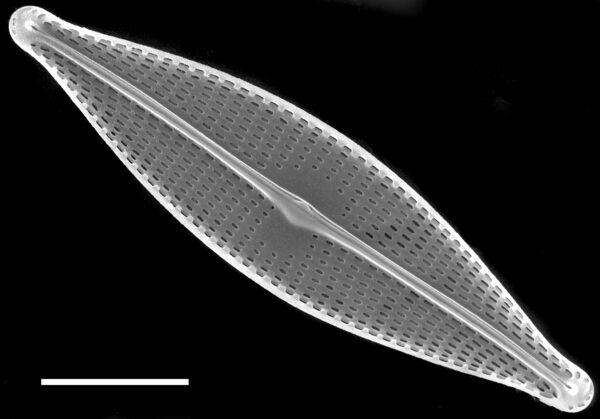 Navicula gregaria SEM2