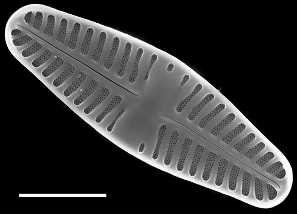 Planothidium lanceolatum SEM4