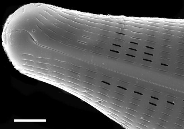 Navicula slesvicensis SEM3