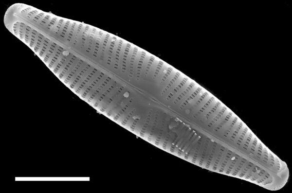 Navicula slesvicensis SEM4