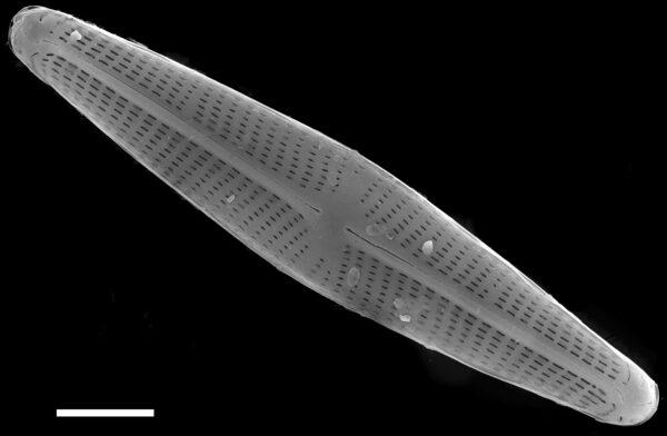 Navicula libonensis SEM2