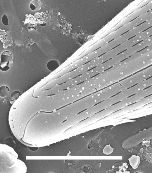 Navicula flatheadensis SEM2
