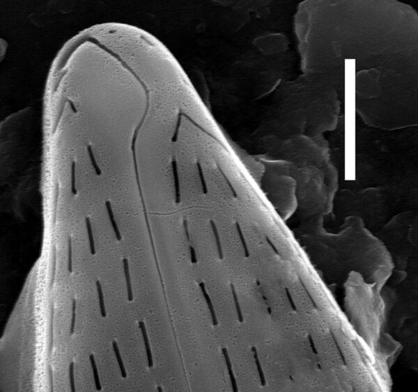 Navicula staffordiae SEM1
