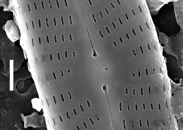 Navicula staffordiae SEM2