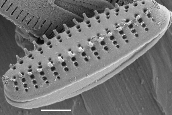 Pseudostaurosira neoelliptica SEM3