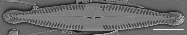 Pinnularia brauniana SEM2