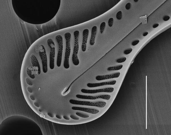 Pinnularia formica SEM1