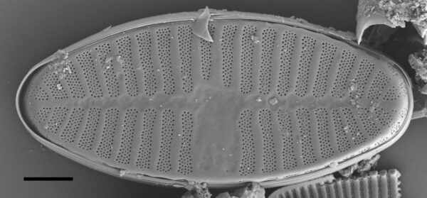 Planothidium Sheathii Sem01