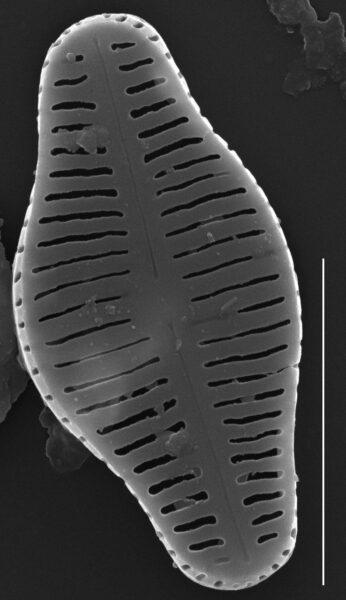 Humidophila schmassmanni SEM4