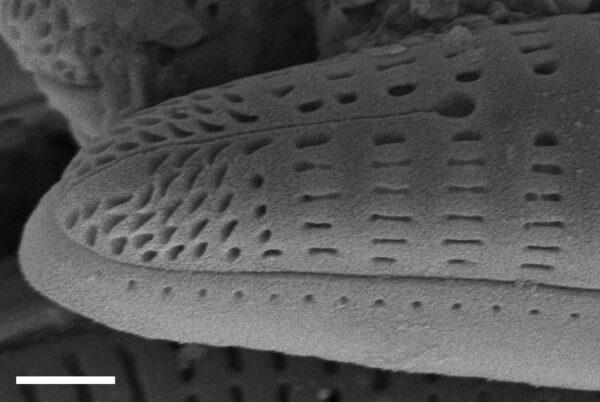 Rhoicosphenia californica SEM4