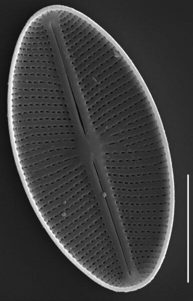 Cavinula cocconeiformis SEM1