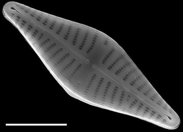 Hippodonta gravistriata SEM2