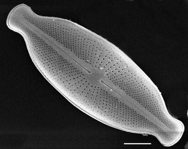 Cosmioneis hawaiiensis SEM2