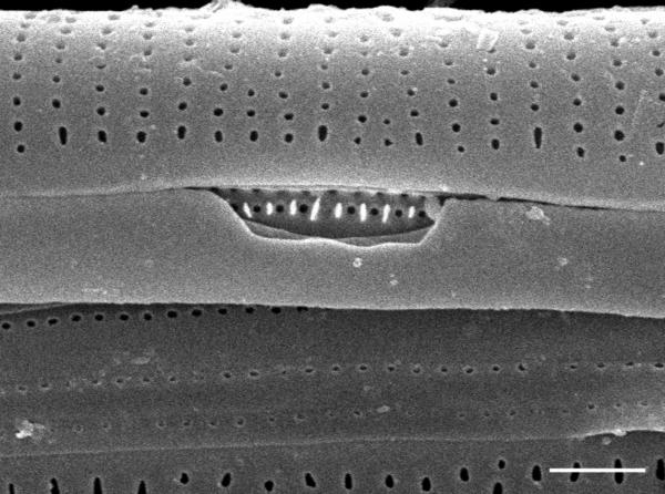Frustulia creuzburgensis SEM4