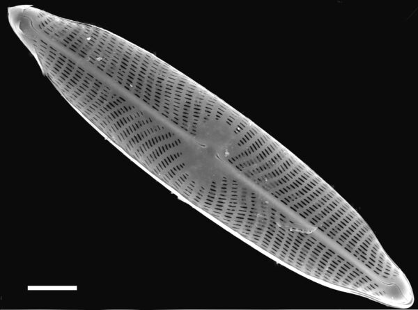 Navicula viridulacalcis subsp neomundana SEM2