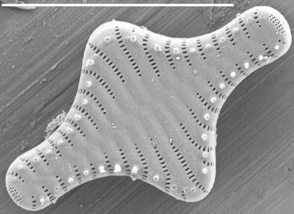 Staurosira construens SEM1