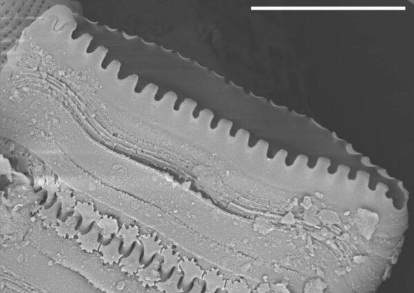 Staurosira construens var binodis SEM1