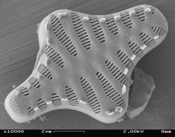 Staurosirella leptostauron SEM3
