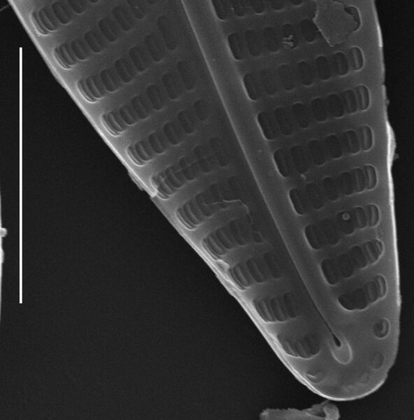 Navicula antonii SEM3