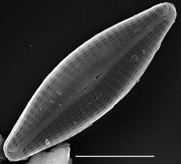 Navicula antonii SEM1