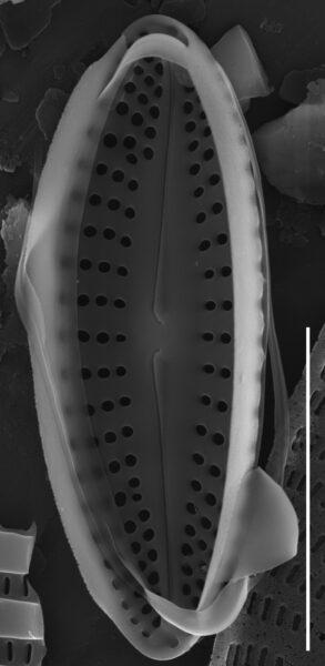 Achnanthes subhudsonis var kraeuselii SEM4