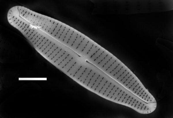 Achnanthidium gracillimum SEM4