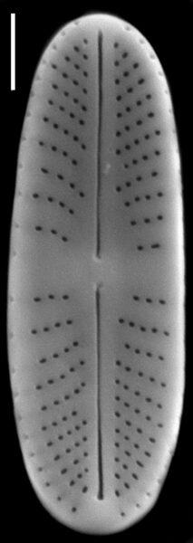 Achnanthidium atomus SEM4