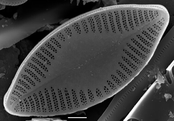 Planothidium holstii SEM1