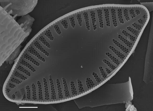 Planothidium holstii SEM2