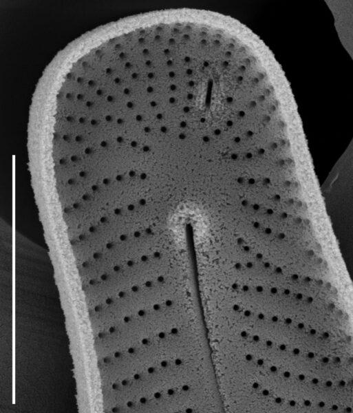 Peronia fibula SEM1