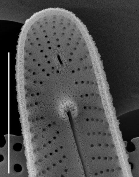 Peronia fibula SEM2